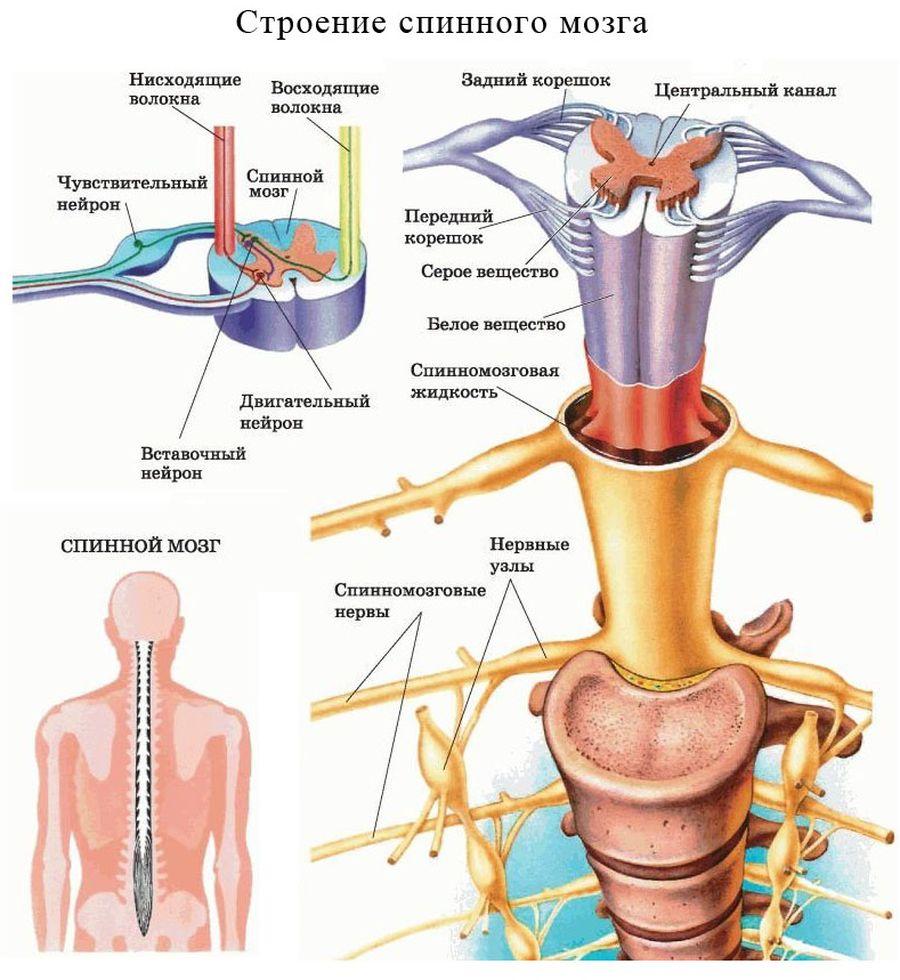 Магнитно-резонансная томография спинного мозга: снимки с контрастом