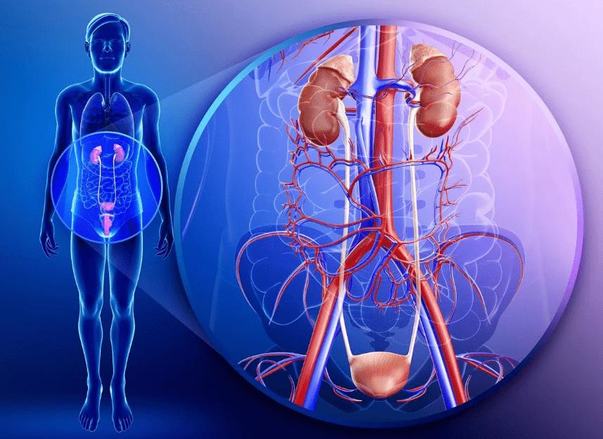 Строение мочевыводительной системы