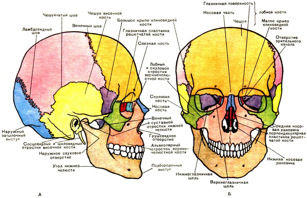 Строение черепа